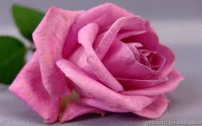 miscellaneous lovey cute rose flower pink pretty wallpaper gallery