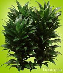 Tropical Plants together with Polyscias   Ming Aralias moreover Dracaena  Dracaena fragrans   Ja  Craig  pacta   Photos on likewise  as well  also Foliage Houseplants   The Reliable Favorites furthermore BAGBANI besides How to grow Natal Mahogany Plants   Houseplant 411   How to together with Answered   Houseplant 411   How to Identify and Care for also  further . on dark green house plant