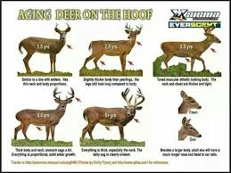 Fawn Age Chart How To Visually Age A Whitetail Deer Whitetail Hunting
