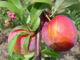FRUIT TREES  Small Orchard  Pear Apple Cherry Plum Peach And Plum Fruit Tree Varieties