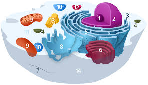 animal cell vacuole diagram.  Diagram To Animal Cell Vacuole Diagram