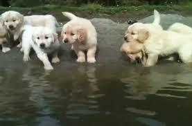 golden retriever puppies swimming. Contemporary Retriever To Golden Retriever Puppies Swimming E