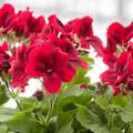 Geraniums picture