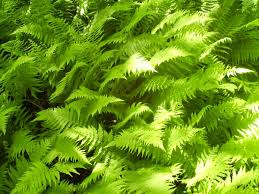 Image result for new york fern
