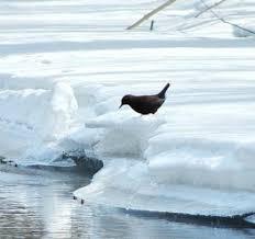 Комплексная контрольная работа класс  тёмная спинка оляпки птица плывёт работая крыльями как пловец руками Вот оляпка уже быстро бежит по дну Вдруг она ненадолго остановилась