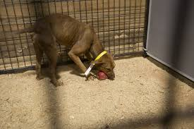 on national dog day feds announce bust of interstate dogfighting  auburn ala a major dogfighting
