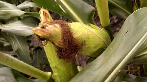 Corn plant health. Conventional corn. Earworm and weed control ...