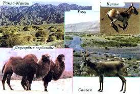 Пустыни и полупустыни Евразии География Реферат доклад  Пустыни умеренного пояса Такла Макан Гоби и их обитатели кулан двугорбые верблюды сайгак