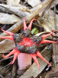 how to get rid of stinkhorn mushrooms