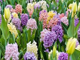 choosing spring bulbs bulb flower types i87