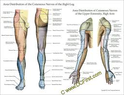 Leg Muscle Innervation Chart Nerve Innervation Of Upper And Lower Extremities