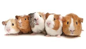 guinea pig | Diet, Life Span, & Facts | Britannica