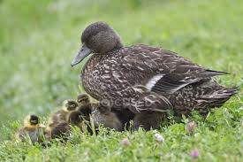 american black duck with ducklings on