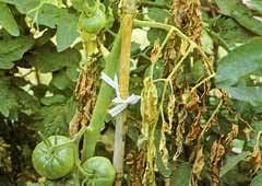 ミニ トマト 葉っぱ 枯れる