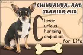 Rat Terrier Age Chart Information About The Ever Friendly Great Dane Labrador Mix