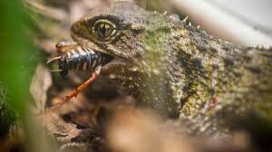 Small Picture Tuatara New Zealand reptiles