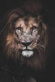Lions Wallpapers - Top Free Lions ...