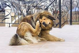 Allergies in Pets - Texas A&M Veterinary Medicine & Biomedical Sciences