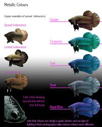 Betta Genetics Chart Betta Fish Genetics Deep Blue Bettas