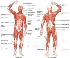 Muscles Of The Body Anatomy Human Anatomy Muscles Pdf
