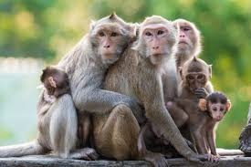 Image result for indian monkeys funny