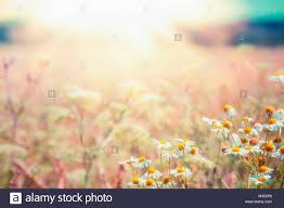 summer outdoor backgrounds. Late Summer Country Landscape With Daisies Meadow And Sunbeam, Beautiful Outdoor Nature Background Wild Flowers Backgrounds