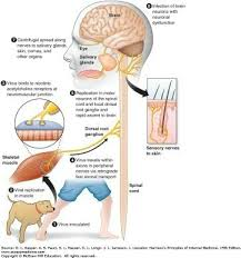 what does the rabies virus do to a human quora neurological research has suggested that death from rabies is not a result of structural damage caused by the virus but rather a result of functional