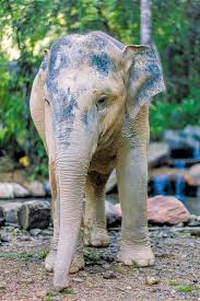pink albino elephant. Wonderful Elephant A Few Days Ago We Woke Up To An Almost White BaiNgern As She Covered  Herself In Mud Overnight Isnu0027t Stunning Her Name Can Be Translated English  On Pink Albino Elephant T