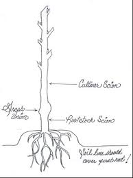 Tree Root Depth Chart Proper Almond Tree Planting The Almond Doctor