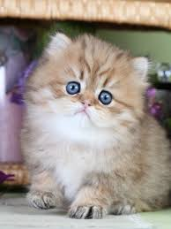 teacup persian cat. Exellent Persian Teacup Cats  Persian Kittens Cats Kittens For Sale   Throughout Cat T