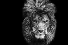 lion portrait black and white. Exellent Black Lion Art Print Featuring The Photograph Stunning Black And White Portrait  Of Barbary On To