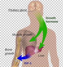 Lovebird Growth Chart Growth Hormone Deficiency Growth Hormone Therapy Sermorelin