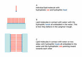 lipid bilayer learn science at scitable