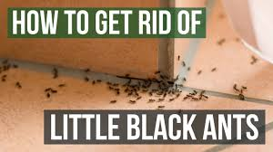 how to get rid of little black ants 3 easy steps