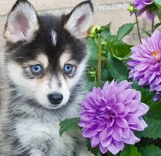 cute husky puppies with blue eyes wallpaper. Contemporary With Husky Puppy  Caine Animal Cute Purple Flower Blue Eyes In Cute Puppies With Blue Eyes Wallpaper P