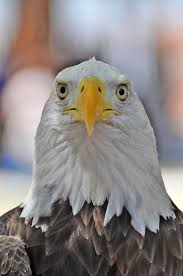 bald eagle template bald eagle stare blank template imgflip