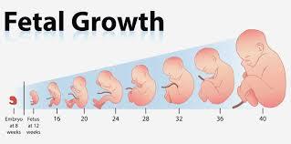 Growth Chart Fetal Length And Weight Week By Week Fetal