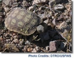 Desert Tortoise Life History