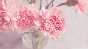 Light Pink Carnations Flowers in a Vase ...