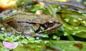 Травяная лягушка rana temporaria фото биология описание  Травяная лягушка rana temporaria