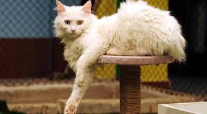 猫好き必見!トルコに住む幻の猫<ヴァン猫> 地球の歩き方