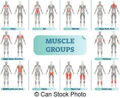 Muscle Groups Chart Muscle Group Chart Male Body With The
