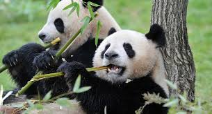 Quotes About Pandas New Scientists Discover Why Pandas Eat And Sleep So Much Sputnik