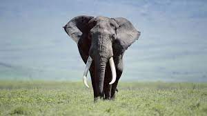 Full Hd Elephant Wallpaper Hd 1080p ...