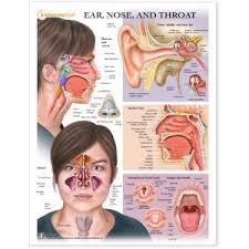 Sinus Chart Nose Model Ent Charts Nose Sinus Anatomy