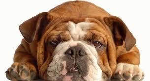 English Bulldog Lifespan How Long Do English Bulldogs Live