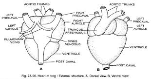 essay on frogs heart of frog