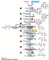 Biochemistry Exam 4 Flashcards Quizlet