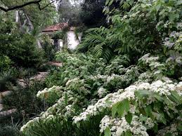 this garden features pale limestone paving lush green planting and a white flowering viburnum