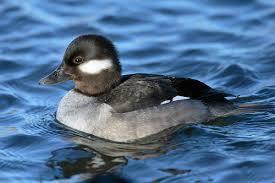 <b>Duck</b> - Wikipedia